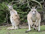 Eastern Grey Kangaroo (Macropus giganteus)
